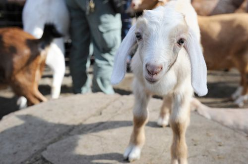 I stole this goat from zooborns.com